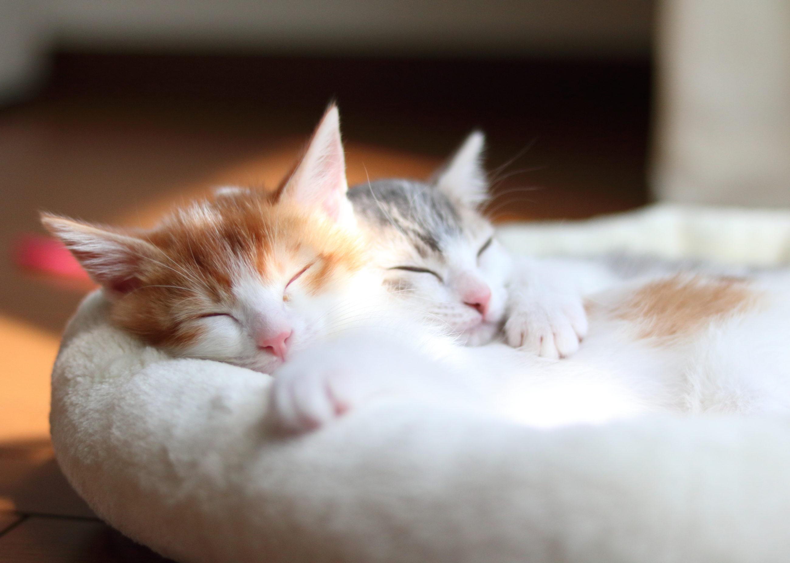 子猫を早期に母猫から離してはいけない? 動物学者・今泉忠明先生に尋ねる「8週齢」のこと
